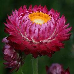 Helichrysum bracteatum monstrosum purple-red x 150 seeds Paper Daisy Cut Flower Lobelia Flowers, Gypsophila Flower, Dried Flowers, Flower Seeds, Flower Pots, Yellow Flower Arrangements, Petunia Flower, Flora Garden, Seed Shop