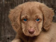 A brown puppy with bright blue eyes.