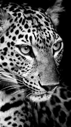 Image about photography in black and white 🖤 b&w by YASMIN ❣️ - animal wallpaper Black And White Photo Wall, Animals Black And White, Wild Animals Pictures, Animal Pictures, Cute Baby Animals, Animals And Pets, Animal Jaguar, Beautiful Creatures, Animals Beautiful