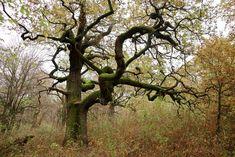 Panónsky háj na mape vyzerá ako nenápadný lesík. Je obkolesený poľami a zástavbou Čiernej Vody, časti obce Chorvátsky Grob. Tento úzky pásik zelene je však zvyškom oveľa väčšieho dubovo-brestovo-jaseňového lesa, takzvaného riedkolesa, ktorých už máme na Slovensku minimum. Pod konármi dubov, ktoré pamätajú 16. storočie, sa pásol dobytok, ktorý pomáhal vytvárať jedinečné územie s množstvom vzácnych rastlín a živočíchov. Trunks, Hiking, Plants, Drift Wood, Walks, Tree Trunks, Plant, Trekking, Hill Walking