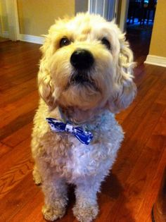University of Kentucky Dog Bowtie from Brugg's Bowties!