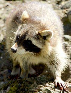 Free stock photo: Nature, Animals, Bear, Raccoon - Free Image on ...