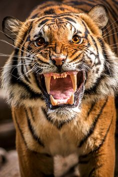 Desktop Wallpaper Tiger growl HD for PC, Mac, Laptop, Tablet, Mobile Phone Nature Animals, Animals And Pets, Cute Animals, Royal Animals, Cute Kittens, Cats And Kittens, Beautiful Cats, Animals Beautiful, Grand Chat