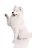 Samoyed's dog Royalty Free Stock Photo