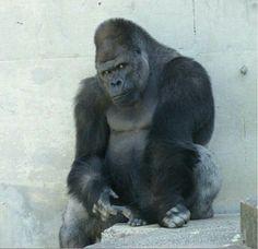 "Meet Shabani the ""ikemen"" (hot young fella) gorilla. In recent months, women have been flocking to the Higashiyama Zoo and Botanical Gardens in Japan to see his ""flirtatious glances."" A gorilla who's a heartthrob? Silverback Gorilla, Chimpanzee, Orangutan, Primates, Mammals, Gorillas In The Mist, Mountain Gorilla, A Beast, Animal Kingdom"