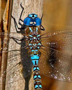 Blue Dragonfly Close-up photo - Chris Picard photos at pbase.com