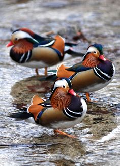 "Mandarin ducks. The adult male is a striking and unmistakable bird; red bill, large white crescent above the eye and reddish face and ""whiskers"". The breast is purple with two vertical white bars, and the flanks ruddy, with two orange ""sails"" at the back. The female is similar to female Wood Duck, with a white eye-ring and stripe running back from the eye, but is paler below, has a small white flank stripe, and a pale tip to its bill."