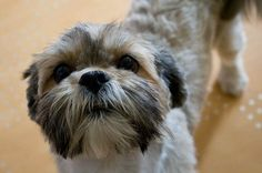 20 Dog breeds that look just as cuddly as teddy bears: Lhasa Apso