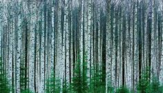 Talvinen koivumetsä - koivikko koivumetsä nuori puustoinen tiheä viljelykoivikko viljelymetsä istutettu istutusmetsä harvennusmetsä metsä alikasvos kuusialikasvos lehdetön talvinen Betula pendula rauduskoivu metsikkö metsänhoito metsätalous