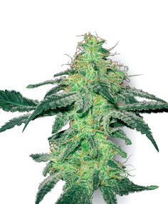 White Skunk Seeds - Sensi Seeds. Large Yield. Short flowering period (50-55 days). 35% Sativa/65% Indica. 10 Seeds for 16 Euros. An excellent variety for first-time growers. Smothered in resin crystals and infused with a rich, bitter-orange scent that is reminiscent of a fine liqueur.