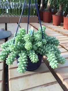 Sedum 'Burrito' or 'Burrow's Tail' Plant in a 14cm Hanging Pot.  #burrito #burrowstail #sedum #plant #succulent
