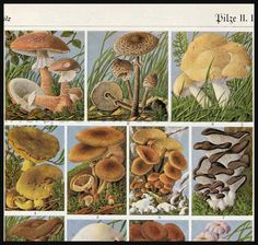 Edible Mushrooms and other fungi antique print.