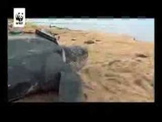 Espèces menacées   Nos Missions - WWF - Organisation mondiale de protection de l'environnement.flv - YouTube