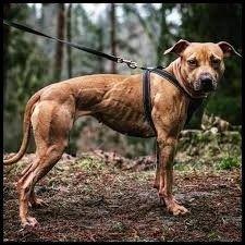 ADBA - American Pitbull terrier , Apbt , Pitbull , Pit bull Puppy