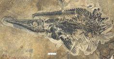 Google Afbeeldingen resultaat voor http://www.nieuwslog.nl/wp-content/uploads/2010/12/ichthyosaur-fossil-101221-02-620x321.jpg