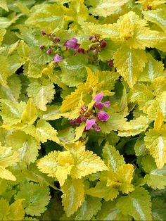 Lamium Maculatum Aureum - Citrus yellow leaves with a white slash down the center of each leaf. Rose purple flowers start in spring and bloom through the whole season. A great groundcover for shade, tolerating drier shade with ease. Bright foliage enlivens a shady area.