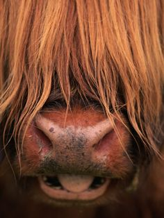 Highland Cattle originate from Scotland. Their most easily identifiable feature, is their long shaggy coat. They also have horns that are longer than most cattle breeds.