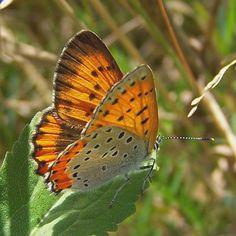 Female Bronze Copper Butterfly by Frank Model