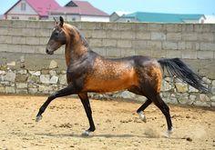 Akhal Teke stallion Shahid