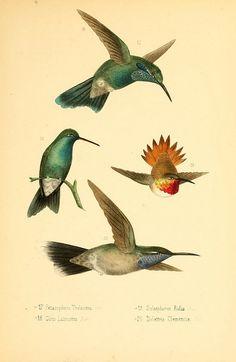 jomobimo:    Hummingbirds of Mexico, 1875