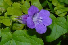(Asa r ina - barclayana)  Ela se destaca por conta das flores azuladas, surgem no verão e no outono. Originária do México, gosta de meia-so...