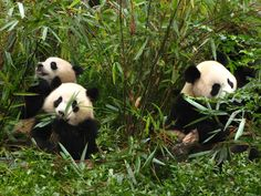 Giant pandas in Chengdu, China.