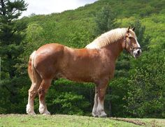 Zeus, Largest Horse In The World