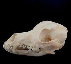 skull poodle