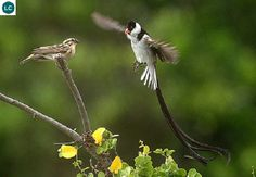 https://www.facebook.com/WonderBirds-171150349611448/ Chim Whydah đuôi dài; Họ Viduidae; Hạ Sahara châu Phi || Pin-tailed whydah (Vidua macroura) IUCN Red List of Threatened Species 3.1 : Least Concern (LC)(Loài ít quan tâm)