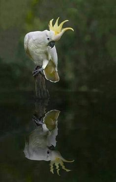 A Sulphur-Crested Cockatoo (Cacatua galerita) checks out his reflection in water. Tropical Birds, Exotic Birds, Colorful Birds, Beautiful Birds, Animals Beautiful, Cute Animals, Funny Birds, Cute Birds, Australian Birds