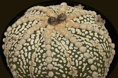 Astrophytum asterias cv. Super Kabuto della famiglia delle Cactacee