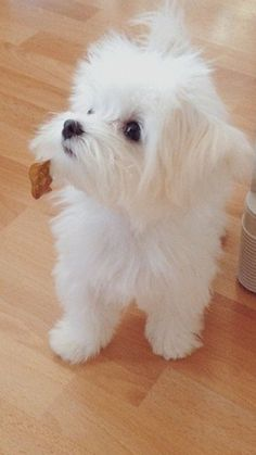 Yes, Maltese baby Cute Dogs And Puppies, I Love Dogs, Doggies, Cute Baby Animals, Funny Animals, Dog Haircuts, Malteser, Teacup Puppies, Maltese Dogs