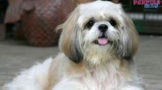 50  Shih Tzu Haircut Pictures