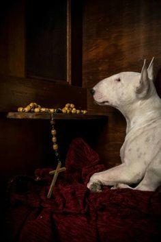 #Bullterrier, apparently saying the rosary or is he in the confessional?