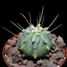 Resultado de imagem para matucana aureiflora