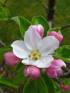 *Apple blossom-lost my crab apple tree to a storm. I'll miss the blossoms this Spring, not the million little apples on the driveway this Fall