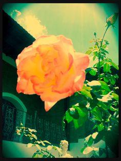 yellow+pink rose #mytubo