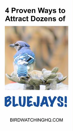 Start attracting Blue Jays today by implementing these four simple strategies. *You will learn the best feeders, foods, and trees that attract Blue jays* Woodpecker Feeder, Bird Nesting Material, Blue Jay Bird, Backyard Birds, Backyard Ideas, Garden Ideas, How To Attract Birds, Funny Birds, Bird Pictures