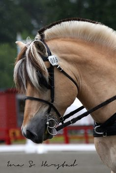Fjord - These horses are so beautiful!
