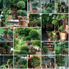 Wohnen und garten de  I have been growing myrtle topiaries as houseplants for nearly 10 ...