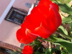Tulipani rossi !