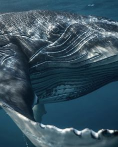 A picture of a large whale at close range, Orcas, Beautiful Creatures, Animals Beautiful, Whale Art, Oceans Of The World, Ocean Creatures, Humpback Whale, Whales, Dolphins