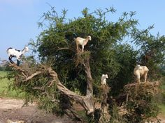 King of the Mountain! Morocco, Haha Haouz, Goats in an argan tree.