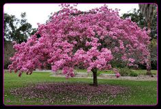Pink Tabebuia This tree looses its foliage during the fall.the blooming period lasts for almost three months This tree prefers to grow in full sun & well drained soil. is a perfect tree for small yards,The flowers attract hummingbirds & butterfly's to your garden. These trees are low maintenance that require the minimum of pruning & deep irrigation three times a month spring through fall. great candidates for a large container or raised bed.
