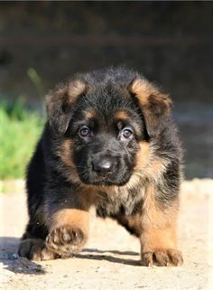 Top 200 Male and Female German Dog Names with Meanings German Dog Names, German Dogs, German Shepherd Puppies, Baby German Shepherds, Sweet Dogs, Cute Dogs, Puppy Dog Eyes, Dog Cat, Malinois