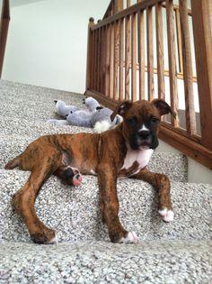 Baby Brindle Boxer Charlie