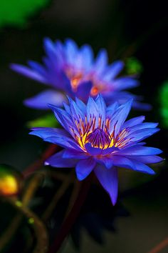 """""""Yes, a water lily is a lotus. In my native India, all three major Goddesses sprang from a lotus: Durga, Luxmi, and Sarasvati. Water Flowers, Purple Flowers, Beautiful Flowers, Beautiful Gorgeous, Lotus Azul, Blue Lotus Flower, Exotic Flowers, Water Garden, Belle Photo"""