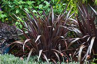 Purple leaf Phormium 'Black Adder' dark foliage perennial in garden ; Sunset Western Garden Collection