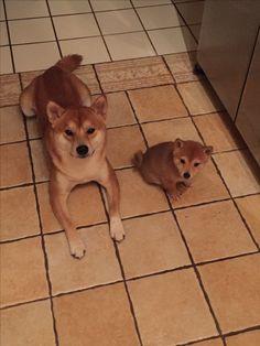 Shiba Inu   Hachi and Tsuki