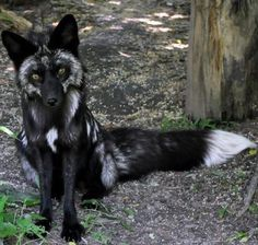Black fox …